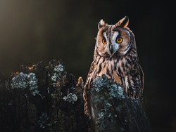 Long-eared owl (Asio otus) sitting on dry tree. Beautiful owl with orange eyes portrait. Dark background. Long-eared owl in dark forest.