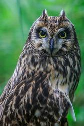 Long-eared Owl close up