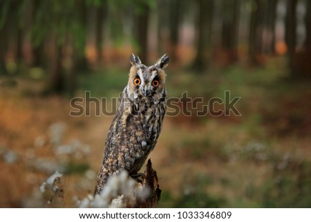 Long-eared Owl in habitat - coniferous forest wit big tree, wide angle lens photo. Wildlife scene from nature. Bird in the forest. Big orange eyes. Animal in nature habitat.