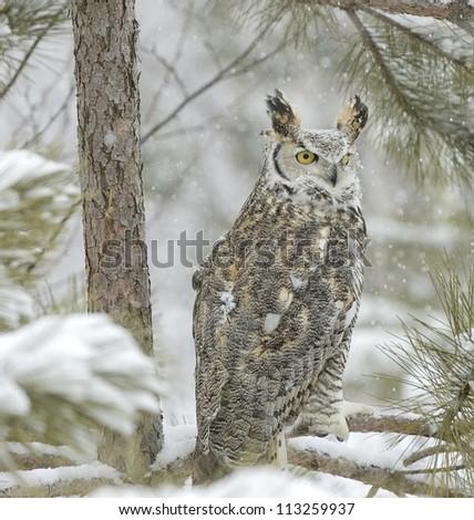 Long eared owl in snowfall