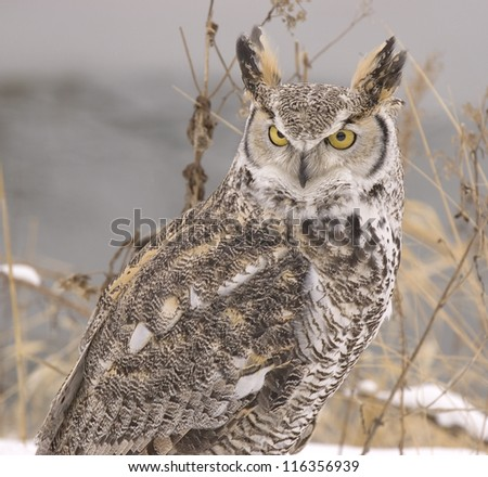Long eared owl in winter plumage