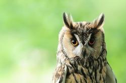 Long-eared owl nocturnal bird of prey
