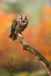 Long-eared owl on a tree branch in autumnal forest