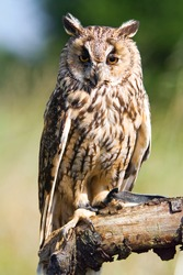 long-eared owl sitting on branch