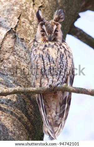 Long-eared Owl sleeping in a tree