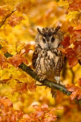 Long-eared Owl with orange oak leaves during autumn in the nature habitat. Owl hidden in colorful habitat.