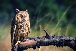 long-eared owl witting on branch