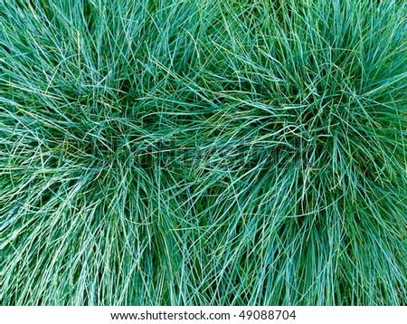 Long emerald green grass texture closeup background.
