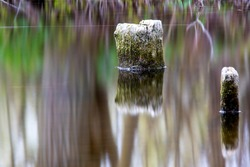 Long exposure shot of tree stumps with moss in swamp water on the island of Gotland in Sweden