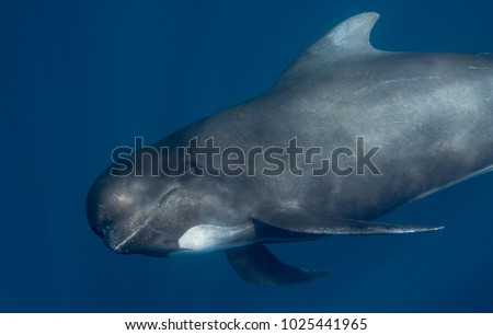 Long-finned pilot whale stare