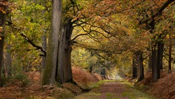 Long forest path under large and old oak trees. An autumn morning in a French forest. Lights and colors of November in France. Colorful branches and leaves. Wide trunks