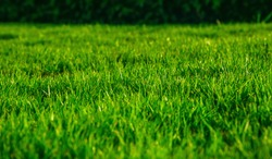 Long fresh green grass texture background view of grass garden Ideal concept used for making green flooring, lawn for training football pitch, Grass Golf Courses green lawn pattern textured background