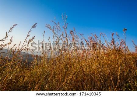 Long Grass Nature Blue Long grass on dry vegetation wildlife terrain in morning blue sky