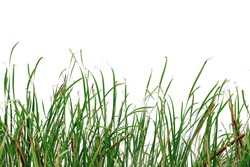 Long green grass and reeds isolated on white background with clipping path and copy space.