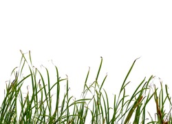 Long green grass and reeds isolated on white background with copy space