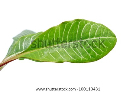 long green leaves isolated on white background