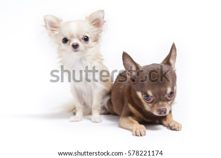 Long Hair And Short Hair Chihuahua Puppy On White Background Ez Canvas