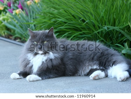 Long Hair Cat laying on Path - stock photo