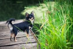 Long-hair Chihuahua dog standing on wooden bridge near pond