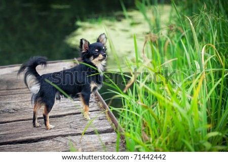 Long-hair Chihuahua dog standing on wooden bridge near pond