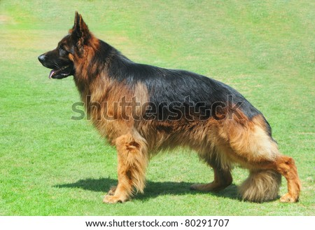 Long hair German shepherd dog stands on grass in show position