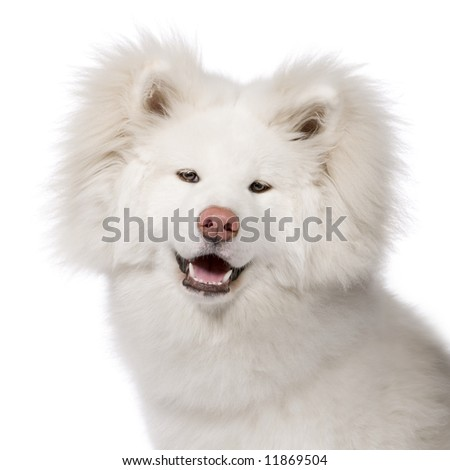 Long Haired Akita Inu 9 Months In Front Of A White