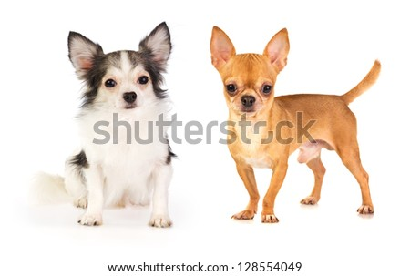 long-haired and short-haired chihuahua on white background