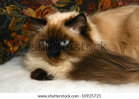 long haired, blue eyed, Seal point himalayan cat sitting in front of pillow