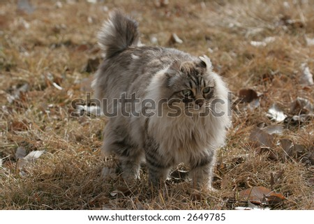 Long haired bobtailed cat walking in  golden grass