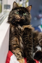 Long haired calico cat leaning against a wall, looking into the camera