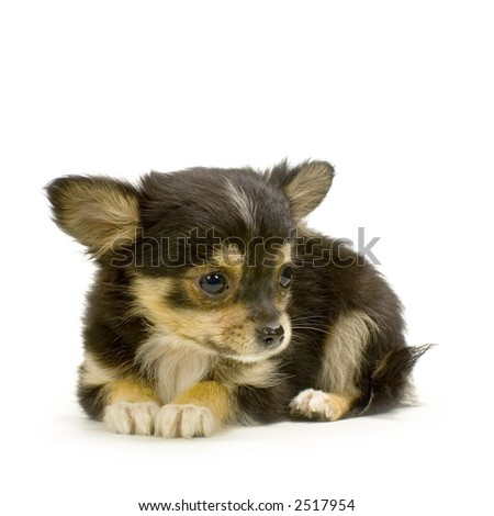 pictures of long haired chihuahua puppies. stock photo : long haired