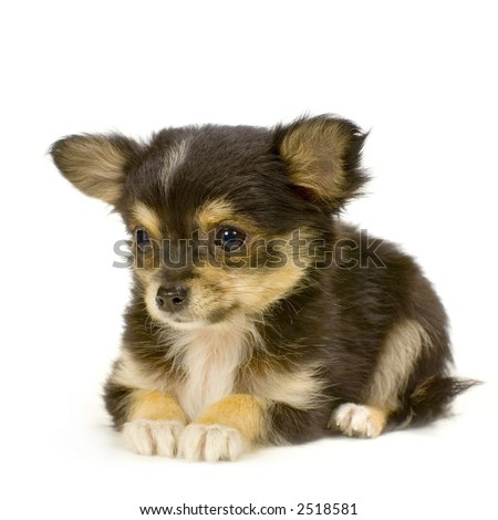 Chihuahua Puppies on Long Haired Chihuahua Puppy Lying In Front Of White Background Stock