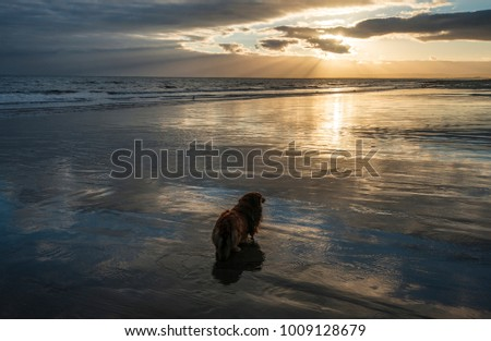 Long-haired dachshund dog called Skye watches the sun go down on Bexhill beach in East Sussex, England.