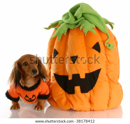 long haired dachshund dressed up with halloween pumpkin
