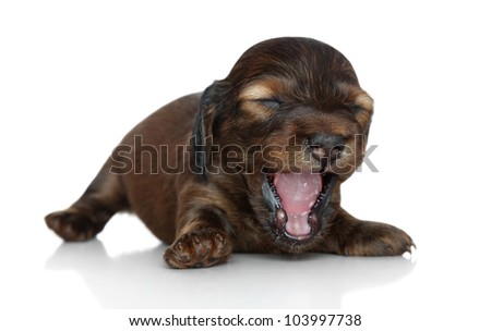 Long-haired dachshund puppy (two weeks) yawn on a white background with reflection