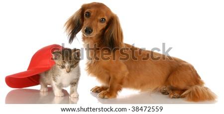 long haired dachshund sitting beside kitten hiding under baseball cap