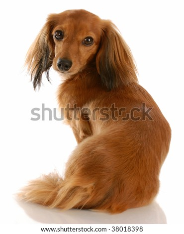 long haired dachshund with back to viewer looking at camera - stock photo