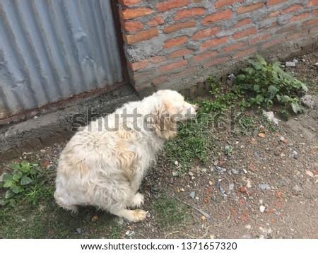 Long-Haired Dogs.Kathmandu Nepal,April 15/2019. #1371657320