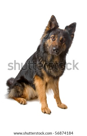 long haired german shepherd dog sitting isolated on a white background