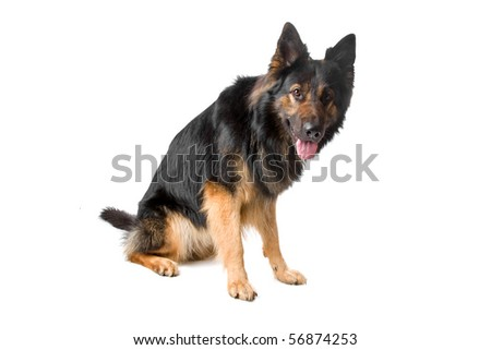 Short Hair German Shepherd. stock photo long haired german