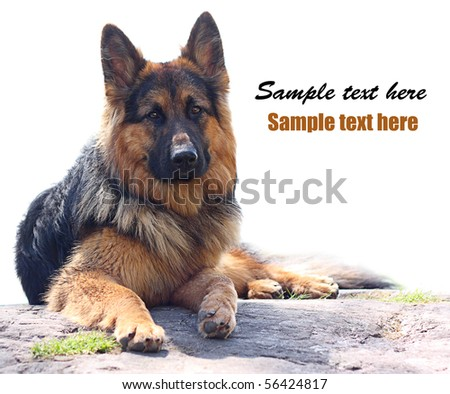 Long-haired german shepherd on a big stone isolated on white