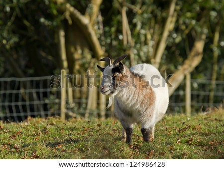Long-haired goat in field