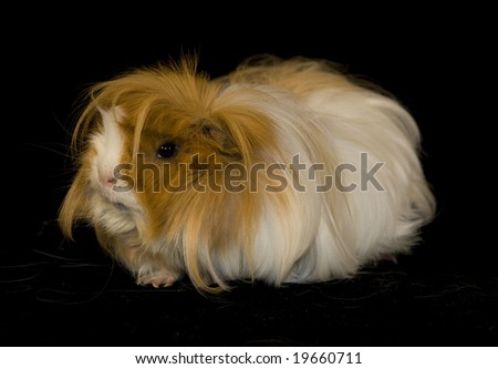 stock photo : Long-haired guinea-pig on black background