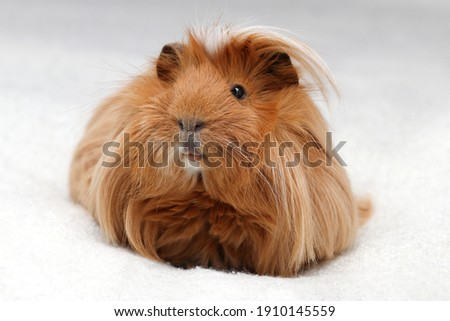 long haired guinea pig portrait Сток-фото ©