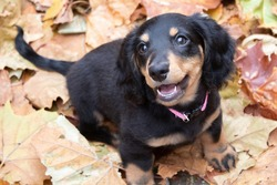 Long-haired mini dachshund puppy playing in the leaves.