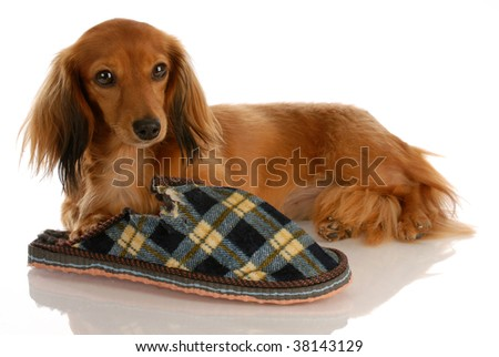 long haired miniature dachshund laying down beside chewed slipper