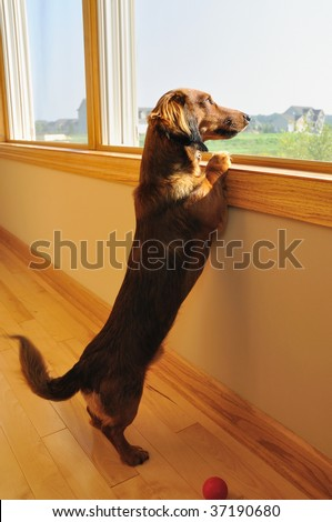 Long Haired Miniature Dachshund Looking out a Window with Blurred Wagging of Tail