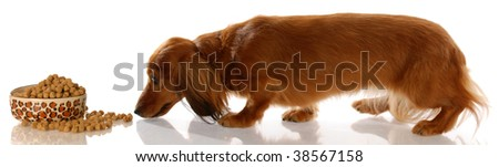 long haired miniature dachshund sneaking up to bowl of dog food