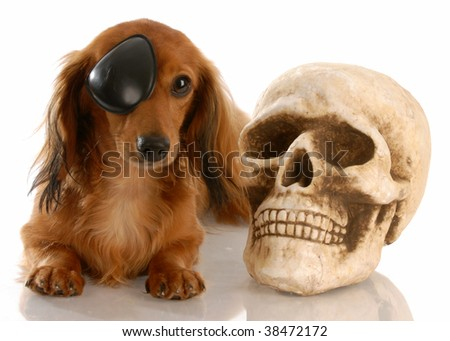 long haired miniature dachshund wearing eye patch laying beside skull