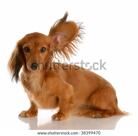 long haired miniature dachshund with one ear standing up listening